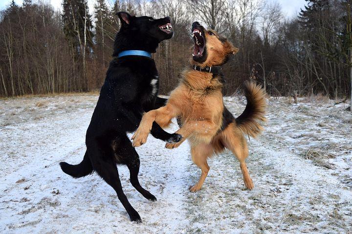 ドッグランで「なぜ大型犬が喧嘩をしたか?」行動の解説と正しい入場方法