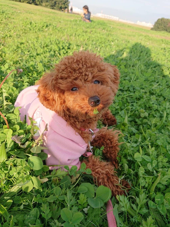 ご感想:甘噛みが酷いトイプードルの子犬