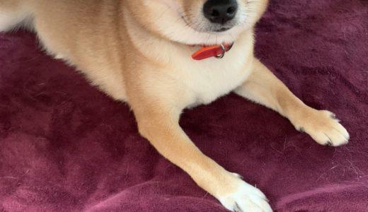 ご感想:フードアグレッシブがある柴犬